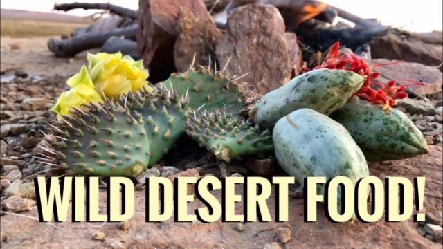 Eating Cactus and Other Desert Edibles(Yucca, Ocotillo) -Junkyard Fox