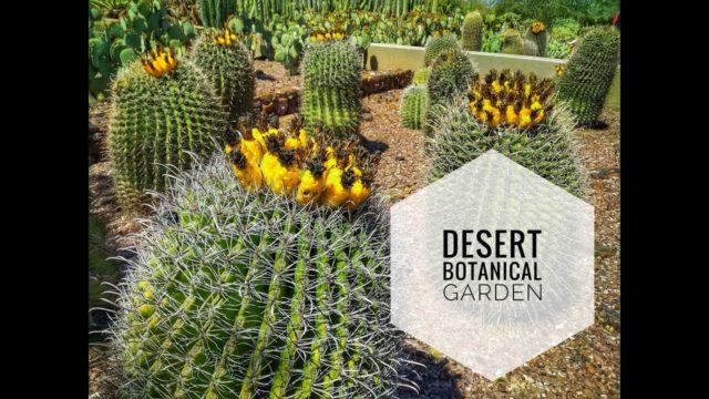 Огромные кактусы в Desert Botanical Garden Phoenix, AZ