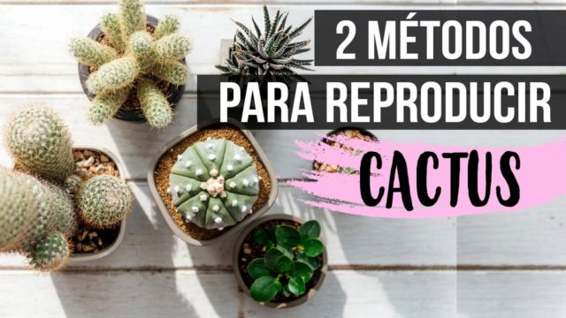 ¿Cómo reproducir cactus? 2018-Fácil y rápido
