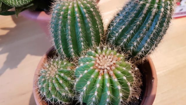 How to recognise mealie bug and red spider mite damage on cacti and succulents
