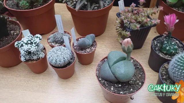 Cactus para Coleccionistas | Caktuky