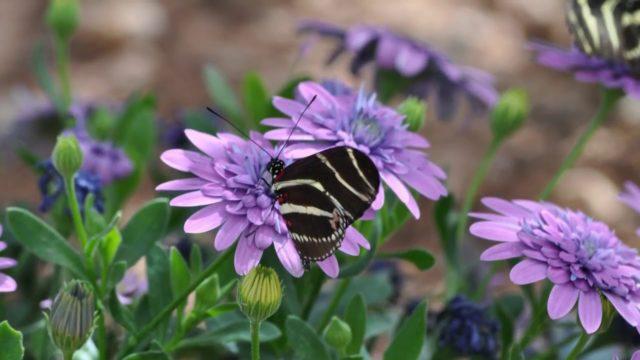 Phoenix Desert Botanical Garden Butterflies