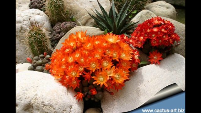 [Garden Ideas] cactus rock garden ideas