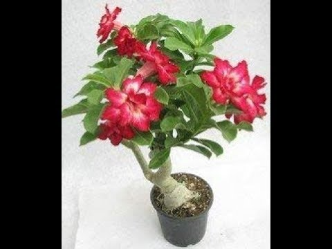 Garden Genie||Best Selling BONSAI PLANTS Beautiful Adenium Dessert Rose Plant on Limited Sale Offer