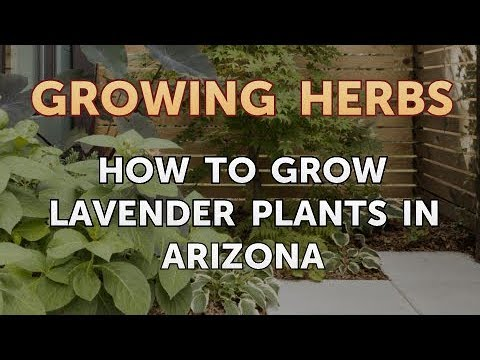 How to Grow Lavender Plants in Arizona
