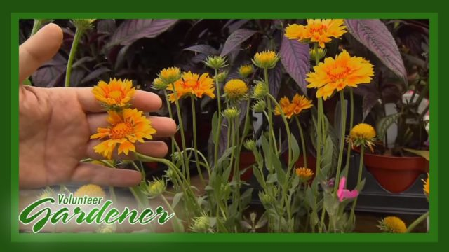 Drought Tolerant Plants | Volunteer Gardener