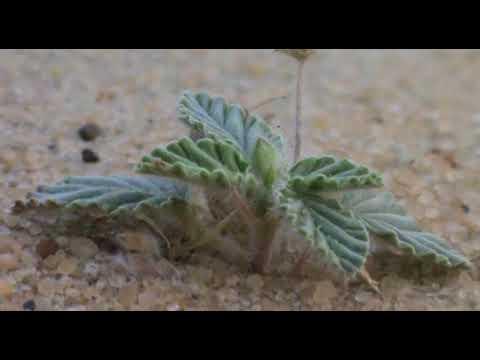 Hairy Desert Plant