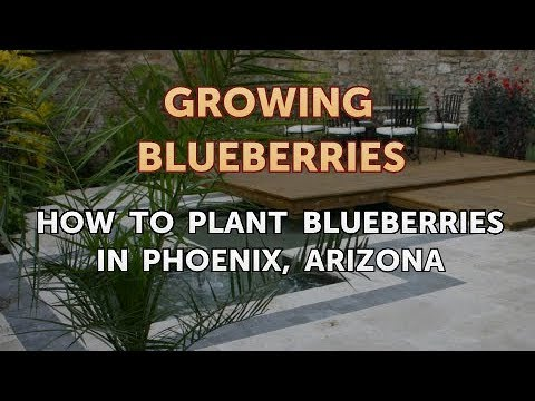 How to Plant Blueberries in Phoenix, Arizona