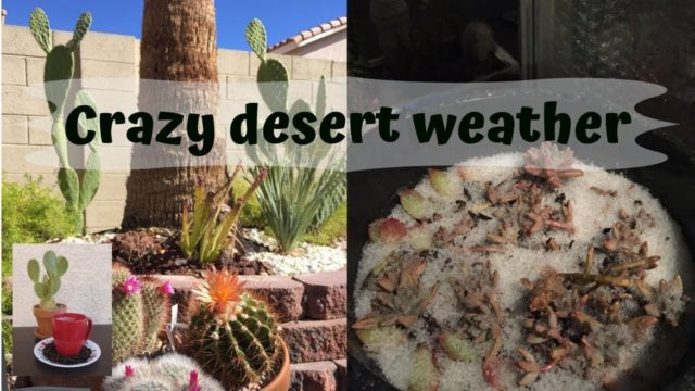 Crazy Desert Weather (Challenges of desert gardening)