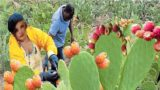 Desert Cactus Fruit Agriculture Technology – Prickly pear farm and Harvesting