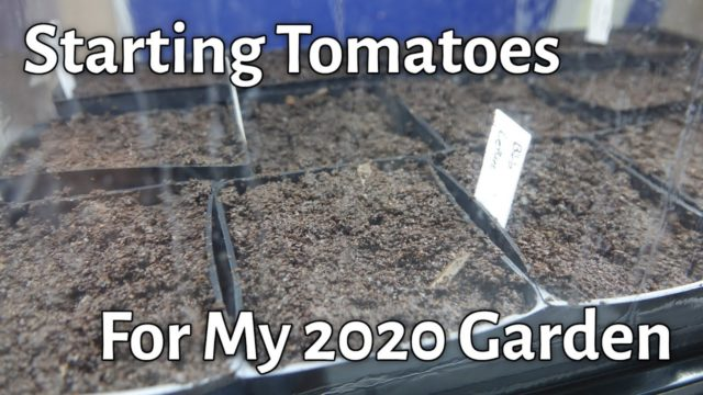 Starting Tomatoes For My 2020 High Desert Garden