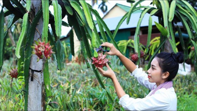 Cooking dessert Dragon fruit in my homeland – Polin Lifestyle