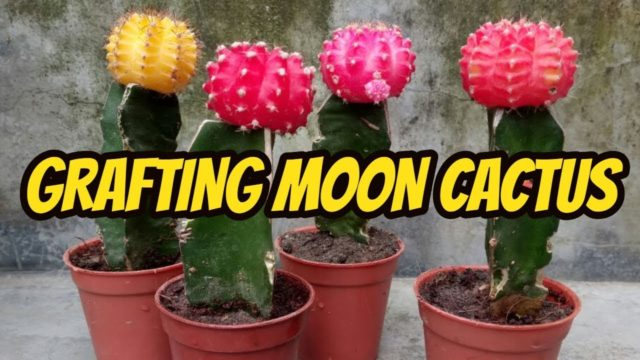 How to graft Moon cactus | Easy Grafting tutorial