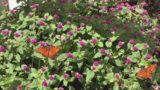 ARIZONA'S DESERT BOTANICAL GARDEN   BUTTERFLY EXHIBIT