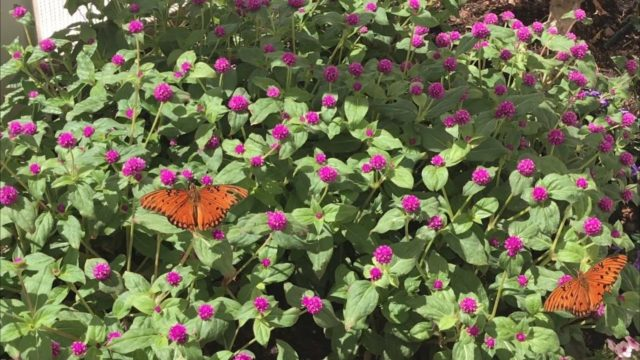 ARIZONA'S DESERT BOTANICAL GARDEN | BUTTERFLY EXHIBIT
