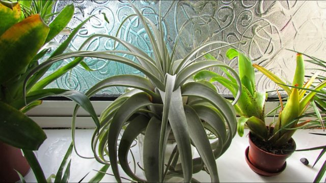 How to Care for Air Plants – Tillandsia xerographica