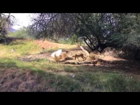 Cheetah chat at the Living Desert Palm Desert California
