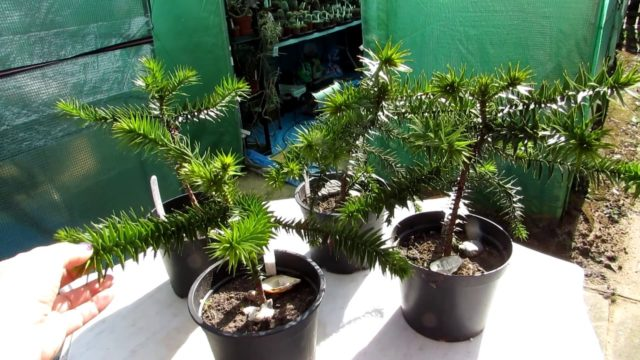 My Monkey Puzzle Trees I have grown from seed – Araucaria araucana Spring Update