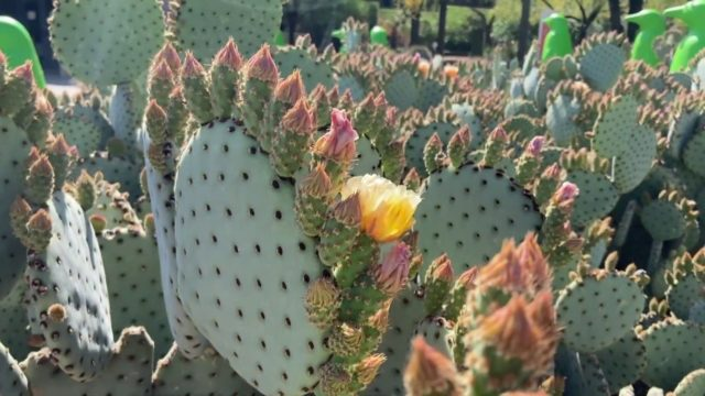 Desert Botanical Garden in Bloom | Spring 2020 | II