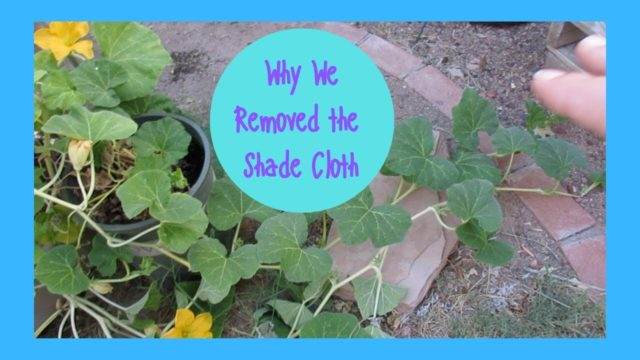 Why we removed the shade cloth in our Zone 9b Desert Garden Wk 23