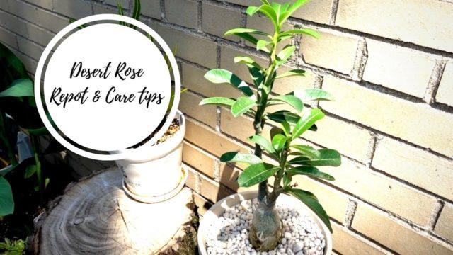 Desert Rose | Care Tips, Soil, Repot with me!
