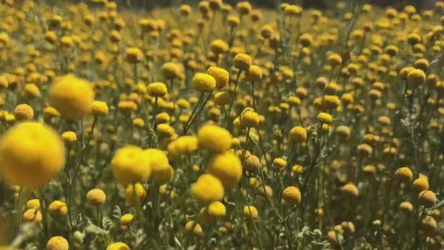 Stinky plant invades desert in Arizona