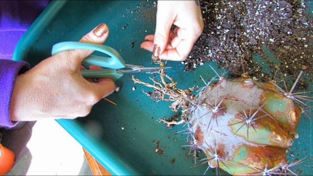 Pruning the dead Roots off Cactus when Re Potting