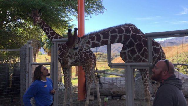 Giraffe chat at the Living Desert Palm Desert California