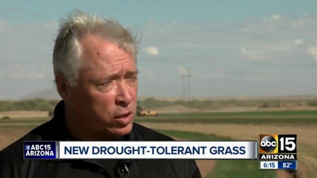 New drought-tolerant grass affordable and safe for the Valley