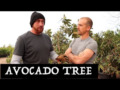 HOW TO GROW AN AVOCADO TREE IN THE DESERT | SUCCESSFULLY!