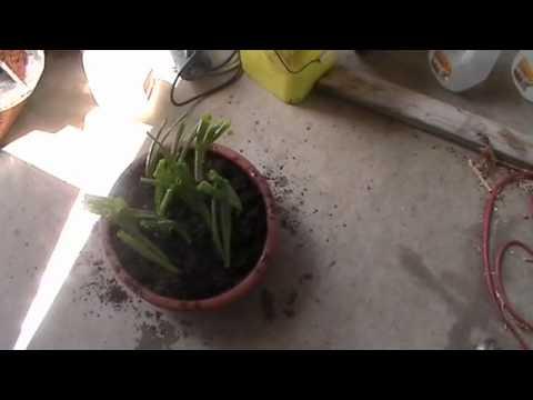 Desert gardening onions in different ways