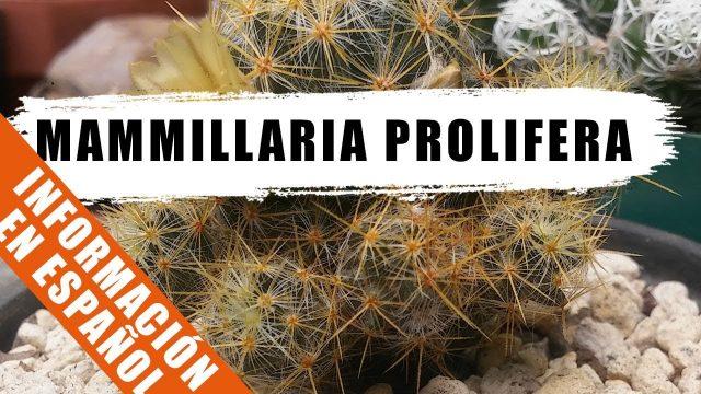 Mammillaria prolifera – Cactus de la semana – by Desert plants
