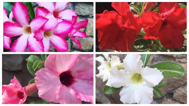 Adenium Plant Care | How to Grow Adenium from seed | Dessert Rose