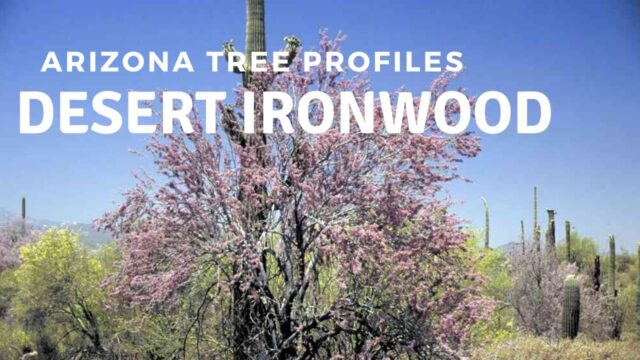 Desert Ironwood – Arizona Tree Profiles