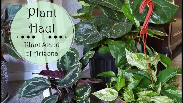 Houseplants Haul | Plant Haul from The Plant Stand of Arizona