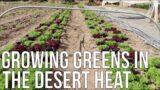 Growing Greens In The Desert Heat!
