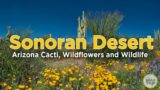 Sonoran Desert – Arizona Cacti, Wildflowers and Wildlife