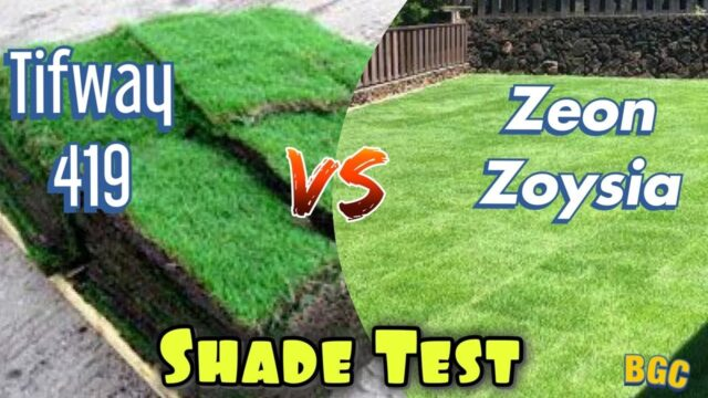 Bermuda Grass VS Zoysia Grass In Shade Test.