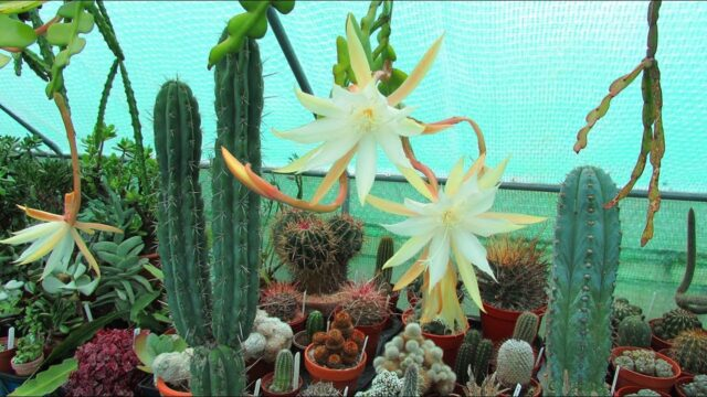 My Cacti & Succulent Plant Collection Polytunnel TOUR UPDATE – November 2019