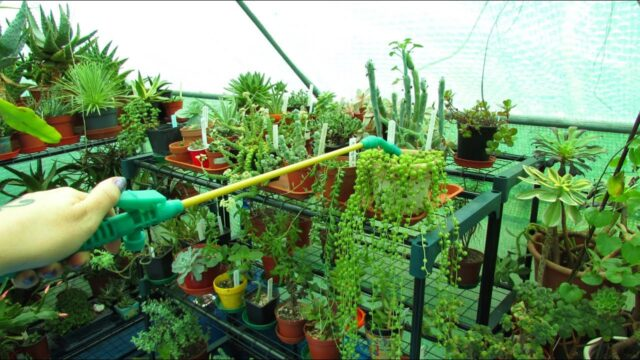 Watering Succulent Plants in Winter