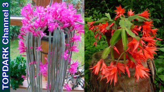 10 Cactus colgantes mas hermosos