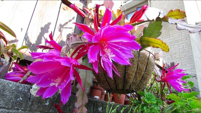 Epiphyllum 'Pegasus' (Pegasus Orchid Cactus) from Buds to BLOOMS