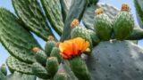 रेगिस्तान में उगने वाला वो जादुई पौधा, जिसे कहते हैं 'हरा सोना'? [Nopal Cactus, Mexico Desert Plant]
