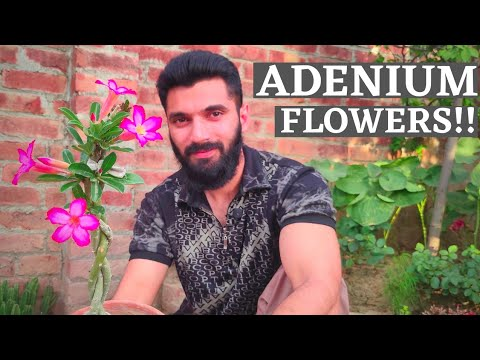 How to get More flowers on your Adenium plant||care of dessert rose in summer