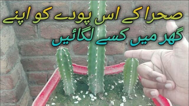 desert plant KO gher ma kaisy lagain Urdu/hindi