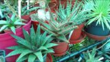 Top 5 Succulent Plants To Grow for Beginners