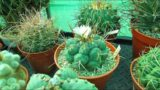 Thelocactus hexaedrophorus Cactus Plant from Buds to Blooms