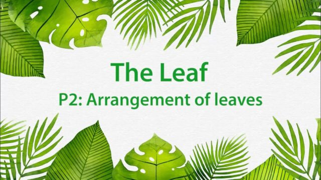 Montessori Elementary: The Leaf (Presentation 2 – Arrangement of leaves)