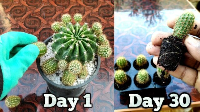 How to propagate Cactus at home – Best and easy way