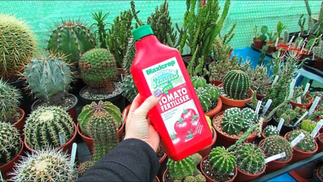 Why I like to fertilise my Cacti & Succulents with Tomato Feed